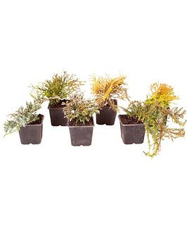 evergreen-hardy-dwarf-conifer-collection-6-x-9cm-pots