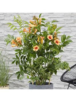 patio-campsis-039indian-summer039-2l-potted-plant-55cm-trellis