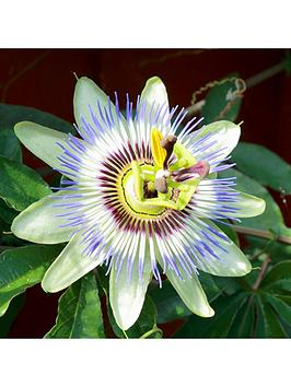 blue-passion-flower-3l-potted-plant-14m-tall