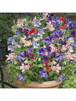 sweet-pea-patio-perfect-12-x-multi-sown-net-pots-48-plants
