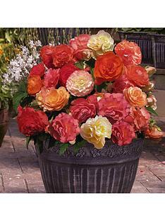 fragrant-heaven-scent-trailing-begonias-12-x-jumbo-plugs