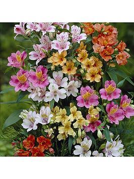 hardy-alstroemeria-ligtu-hybrids-10-x-bare-roots
