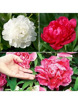 hardy-peony-bushes-3-x-bare-roots