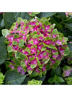 hydrangea-039glam-rock039-2-x-14cm-potted-plants