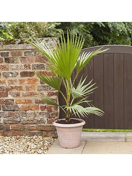 hardy-cotton-palm-washingtonia-robusta-1m-tall-20cm-potted-plant