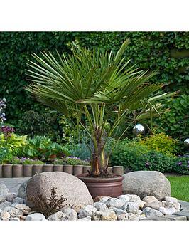 Very  Hardy Fan Palm Trachycarpus Fortunei 80-90Cm Tall