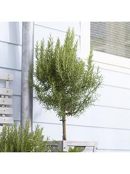 standard-rosemary-tree-3l-potted-plant-90cm-tall