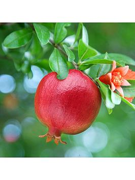 hardy-pomegranate-bush-2l-potted-plant