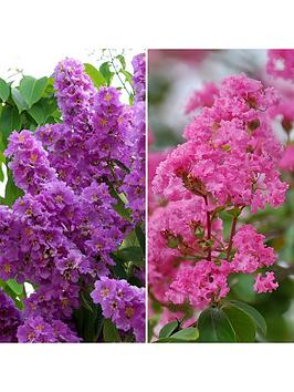 pair-of-patio-lagerstroemia-crepe-myrtle-13cm-potted-plants
