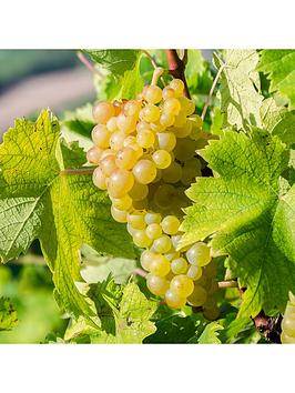 table-grapevine-white-moscatel-12m-5l-potted-plant