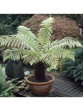Very  Dicksonia Antartica Tree Fern - Potted 20Cm
