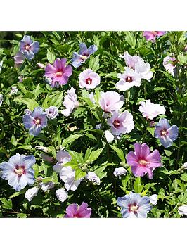 3-in-1-hibiscus-tricolour-3l-potted-plant