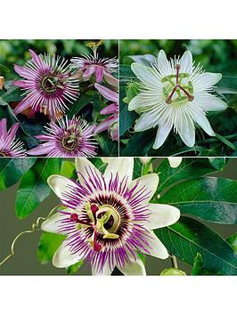 passion-flower-collection-3-x-9cm-potted-plants