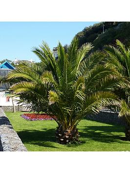 pair-of-hardy-phoenix-palm-trees-80-100cm-tall-15cm-potted-plants