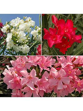mediterranean-oleander-collection-3-x-17cm-potted-plants