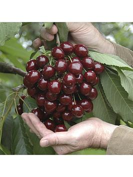 sweet-cherry-stella-patio-fruit-tree-5l-potted-plant-14m-tall