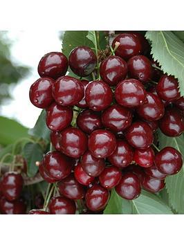 compact-sweet-cherry-bush-porthos-3l-potted-plant