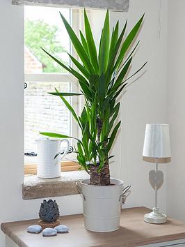 Yucca 2 Stem 45/20Cm In 17Cm Pot 80Cm Tall - Green Houseplant