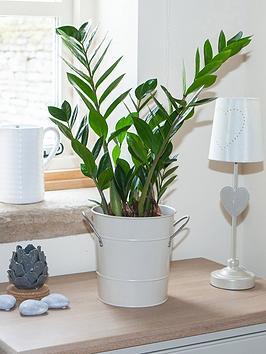 zamioculcas-zamiifolia-zz-plant-easygrow-houseplant-17cm-pot