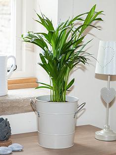 areca-palm-14cm-pot-60cm-tall-green-houseplant