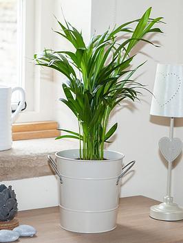 Very  Areca Palm 14Cm Pot 60Cm Tall - Green Houseplant
