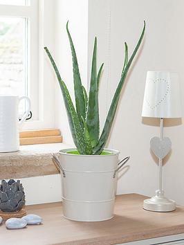 Very  Aloe Vera 15Cm 50Cm Tall - Green Houseplant