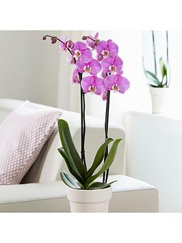 phalaenopsis-moth-pink-2-stem-orchid-christmas-houseplant