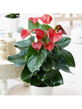 red-anthuriumnbsp--christmas-houseplant