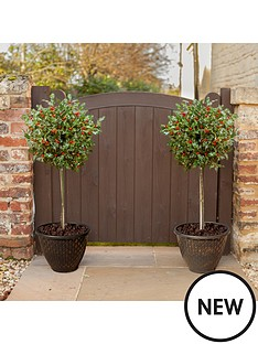 pair-holly-tree-standards-in-berry-with-2-gold-decoplanters