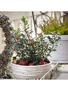 holly-bush-with-red-berries-in-2l-decoplanter