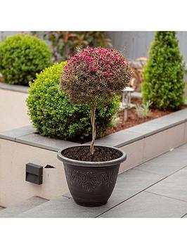 leptospermum-tea-tree-standard-form-80cm-tall