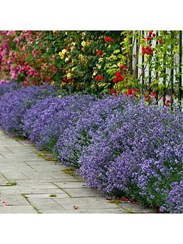 english-lavendar-munstead-x-12-plug-plants