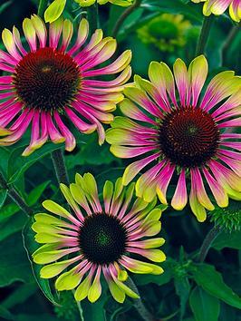 echinacea-green-twister-3-garden-ready-plants