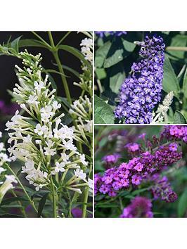 patio-buddleia-butterfly-bush-petite-x-3-plants-in-3-colours