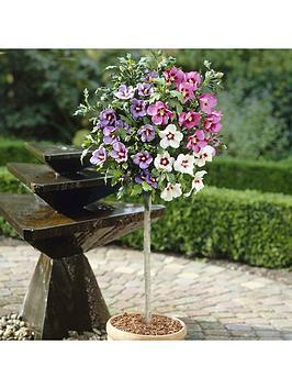 hibiscus-tricolour-standard-1m-in-bud
