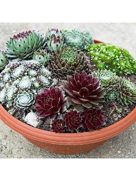sempervivum-hardy-houseleeks-succulent-colelction-6-x-9cm-pots