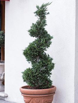 thuja-evergreen-conifer-spiral-topiary-1m-tall