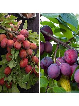 duo-plum-tree-2-varieties-on-one-tree-14m