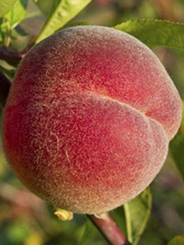 peach-red-haven-14m-bare-root-tree