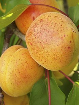 apricot-early-moorpark-14m-bare-root-tree