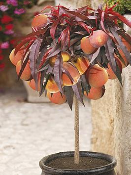 red-leaf-patio-peach-crimson-bonfire-bare-root