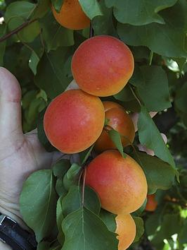 hardy-apricot-tree-tomcot-bare-root-14m