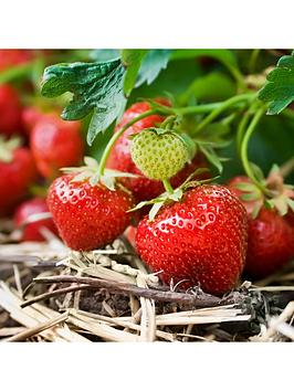 pack-20-strawberry-cambridge-favourite-runners