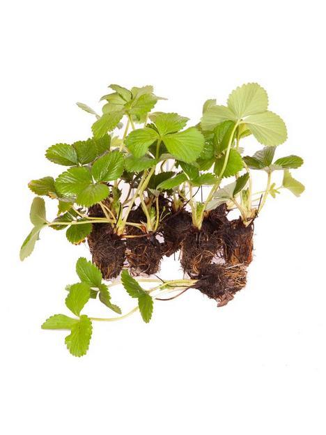 pack-12-strawberry-sweet-colossus-plug-plants