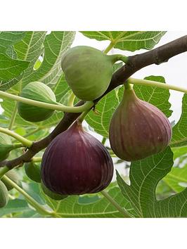 fig-tree-brown-turkey-standard-form-12-14m-tall