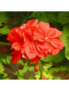 large-red-zonal-geranium-plants-x-12-plugs