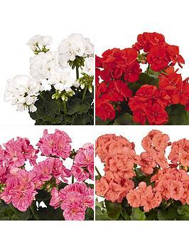 zonal-bedding-geranium-survivor-series-12-plugs-mixed-colours