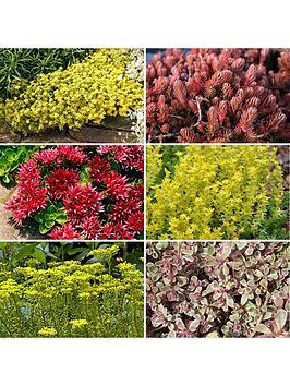 sedum-carpet-collection-12-plug-plants