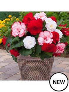 begonia-majestic-romance-mix-x-12-plugs-plants