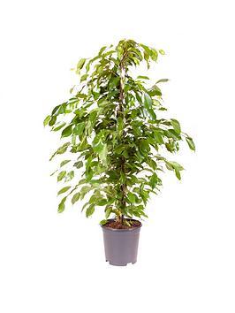 Very  Ficus Benjamanica (Weeping Fig) 21Cm Pot 90Cm Tall - Green Houseplant